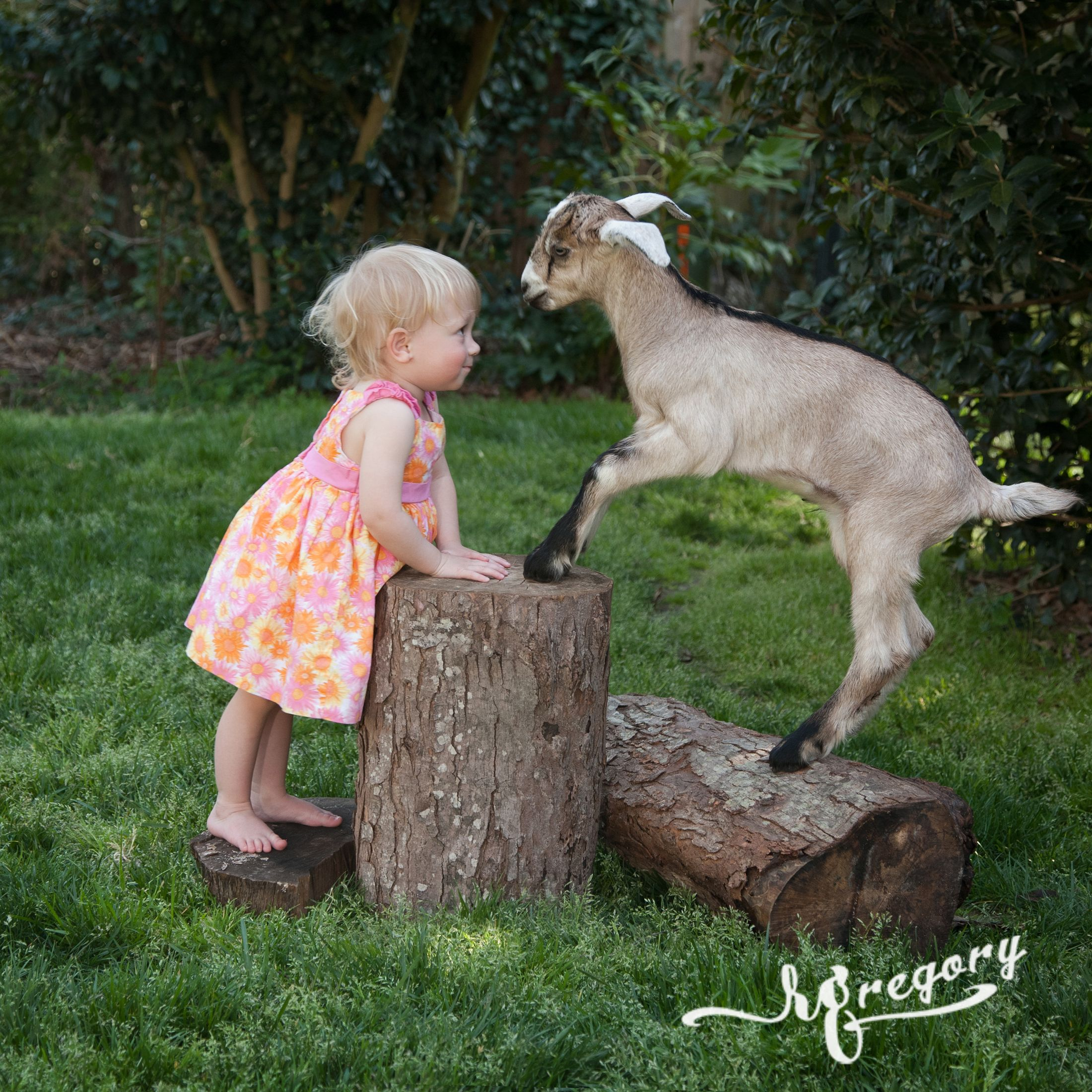 child toddler facing off goat spring picture